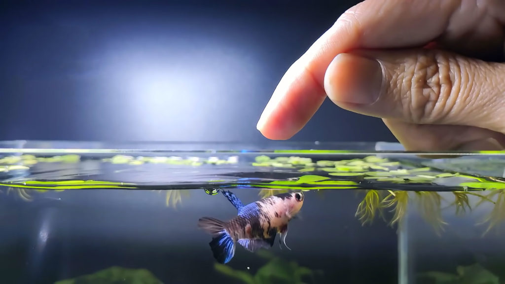 Betta Fish Jumping
