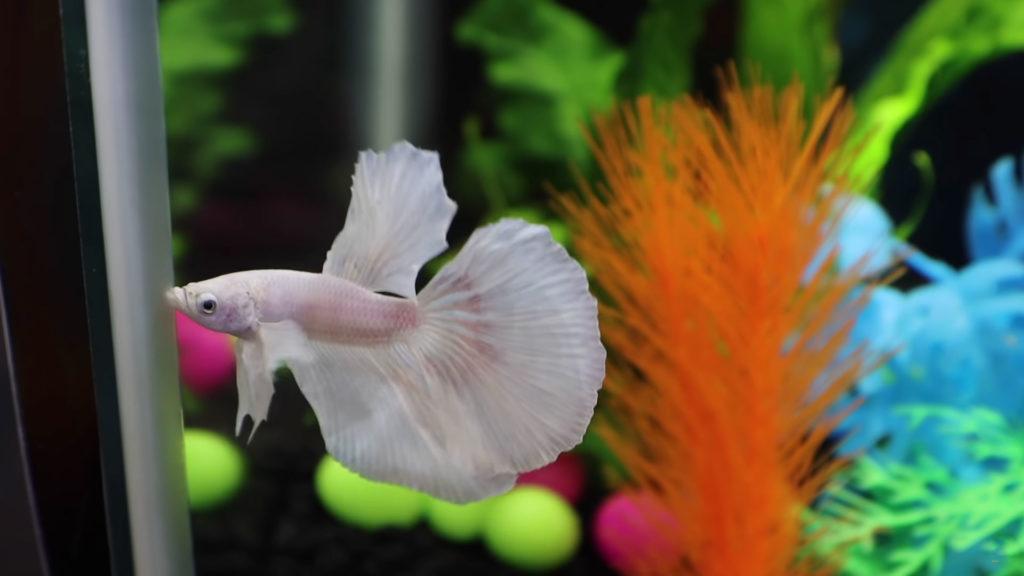 Cleaned Aquarium fish