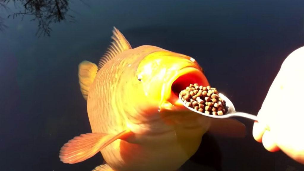 Feeding Koi Fish