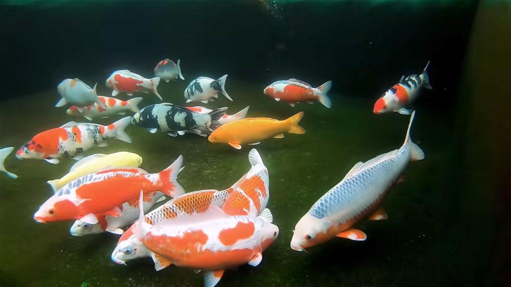 Koi fish care