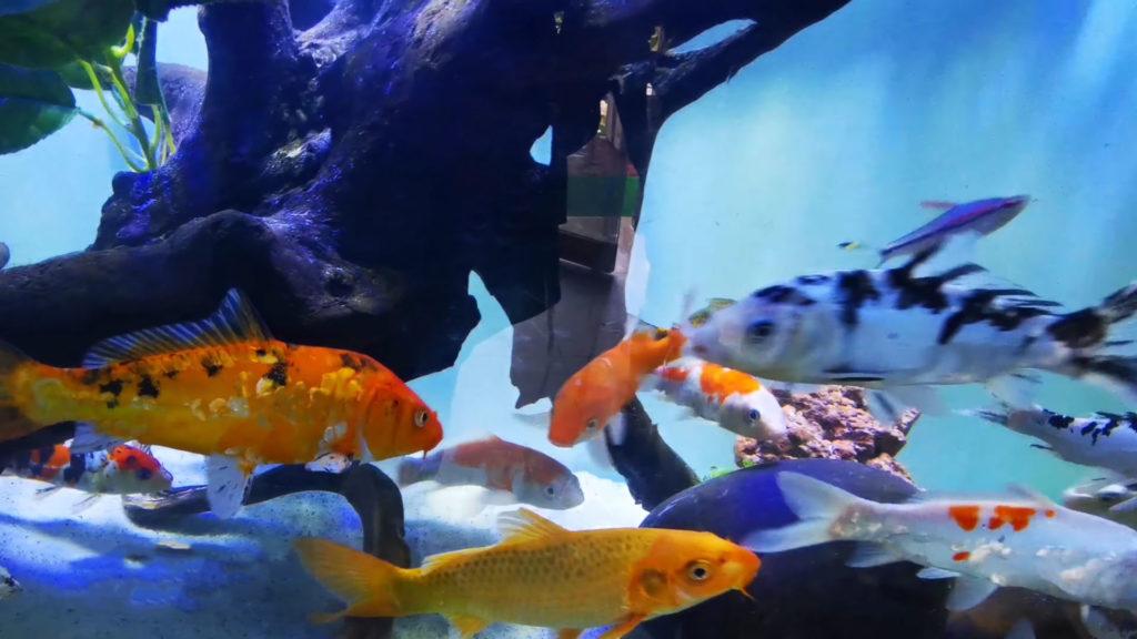 aquarium koi fish