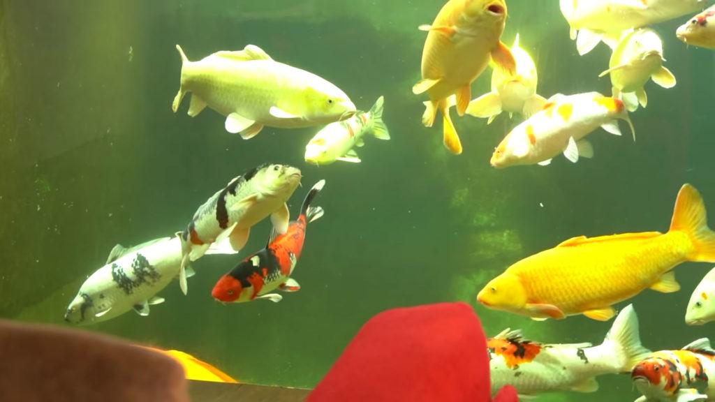 koi fish variety