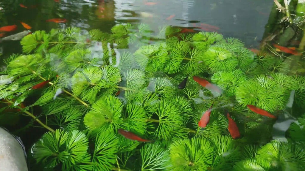 Green Cabomba