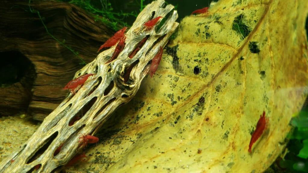 Cholla Wood Driftwood